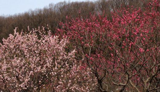 【岐阜】梅林公園の梅まつり2020!開花時期や見頃の時期、イベント詳細
