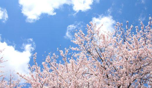 背割堤の桜2020!開花状況や夜桜、ライトアップや混雑具合アクセスについても